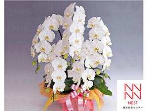 祝い花胡蝶蘭